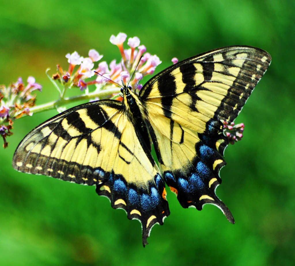 Freeimage butterfly