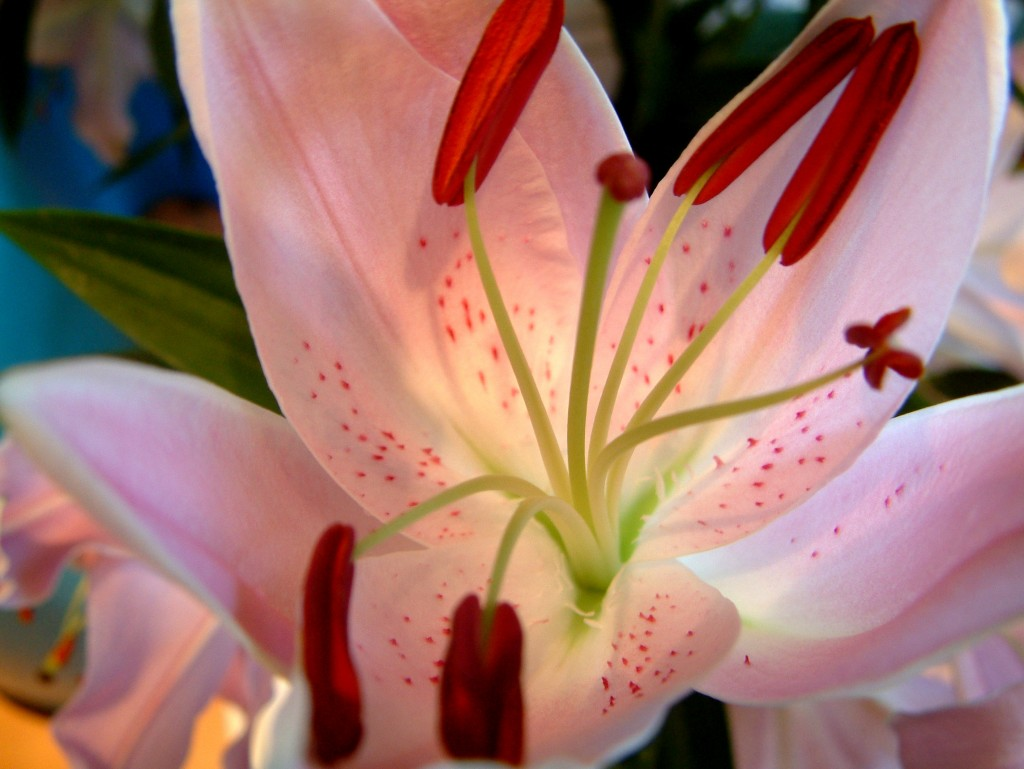 freeimages lily